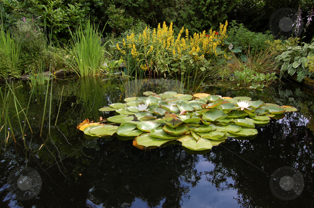 Garden Pond with Water Lilies stock photo,  by Karen Koomans