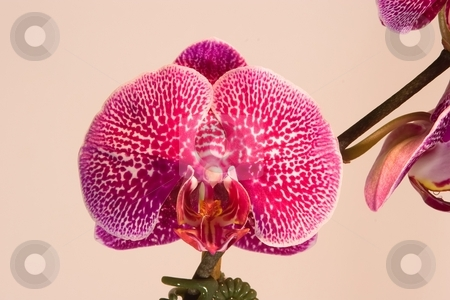 Phalaenopsis stock photo, Phalaenopsis (Blume 1825) is a genus of approximately 60 species of orchids (family Orchidaceae). The abbreviation in the horticultural trade is Phal. by Mariusz Jurgielewicz