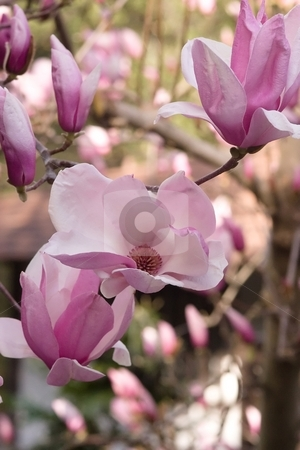 Magnolia stock photo, Magnolia is a large genus of about 210[1] flowering plant species in the subfamily Magnolioideae of the family Magnoliaceae. by Mariusz Jurgielewicz