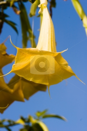 Golden angels' trumpet stock photo, Brugmansia aurea is a species of plant in the Solanaceae family. It is endemic to Ecuador. by Mariusz Jurgielewicz