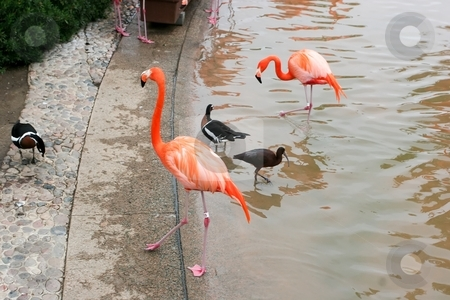 Greater Flamingo stock photo, The Greater Flamingo (Phoenicopterus roseus) is the most widespread species of the flamingo family. It is found in parts of Africa, southwest Asia, southern Asia and southern Europe by Mariusz Jurgielewicz