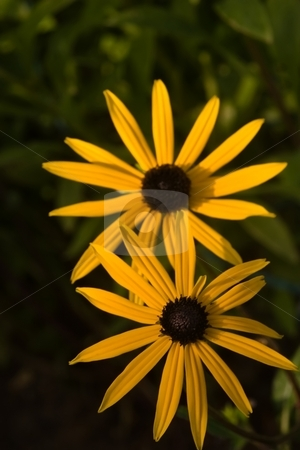 Marguerites stock photo, Anthemis tinctoria, or Golden Marguerite and Yellow Chamomile, is a species in the genus Anthemis of the Sunflower family (Asteraceae). by Mariusz Jurgielewicz