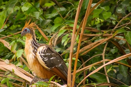Stinky Bird stock photo, The Hoatzin (Opisthocomus hoazin), also known as the Hoactzin, Stinkbird, or Canje