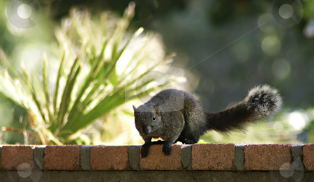 Squirrel stock photo, Cute European squirrel on a wall in a botanic garden (located in French Riviera ) by Serge VILLA