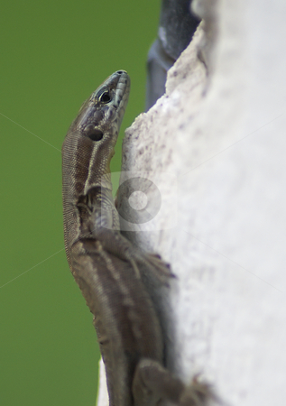 Lizard on the wall stock photo, Small mediterranean lizard on a white wall by Serge VILLA