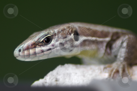 Glance stock photo, Small mediterranean lizard on a white wall by Serge VILLA