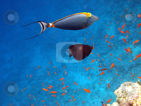 Orangespined tang stock photo, Tropical fishes and coral reef by Roman Vintonyak