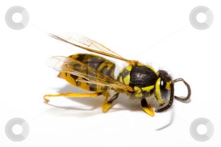 Wasp  stock photo, Detail of a common wasp - Vespula vulgaris by Petr Koudelka
