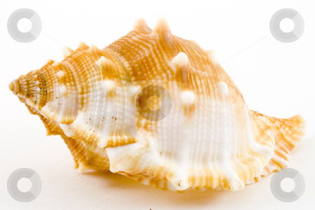 Conch stock photo, Detail of a conch on the white background by Petr Koudelka