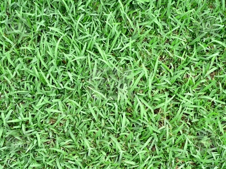 Grass Background stock photo, Background texture of lush St Augustine grass by Perry Correll