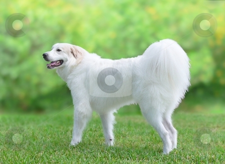 Great Pyrenees Dog stock photo, Profile of Great Pyrenees by Perry Correll