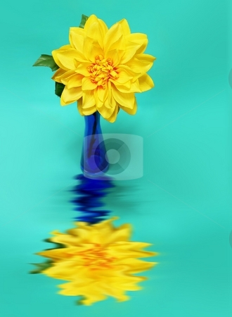 Flower in vase stock photo, Yellow flower and Blue Vase on Teale colored background with reflection by Perry Correll