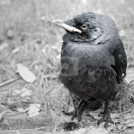 Young Jackdaw stock photo, Baby bird, a jackdaw, just left its nest. Grayscale image with a touch of color preserved. by Karen Koomans