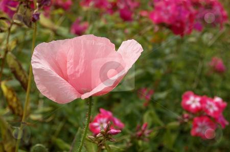 Papaver orientalis stock photo, Beautiful pink poppy, papaver orientalis. by Karen Koomans
