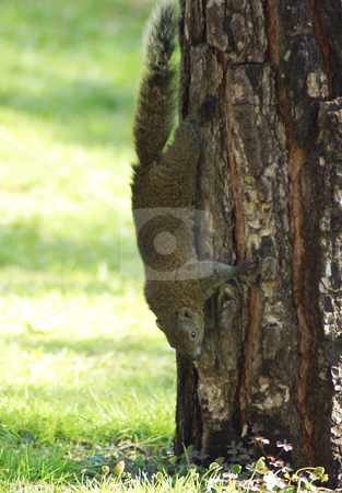 Squirrel on Tree stock photo, Squirrel running on tree by Serge VILLA