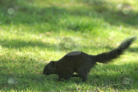 Grey Squirrel stock photo, Squirrel running on grass by Serge VILLA