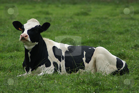 Black and White Cow stock photo, Black and white cow lying in a green grass field by Serge VILLA