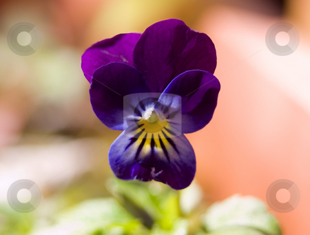Pansy flower stock photo, Close up of purple pansy in the sun by John Teeter
