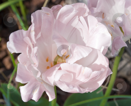 Tulip Pink stock photo, Close up of soft pink tulip by John Teeter