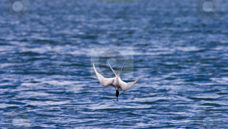 Recipe for a Headache stock photo, A Forsters Tern dives for perch in Potholes Reservoir in Central Washington. Look like a recipe for headache to me! by Mike Dawson