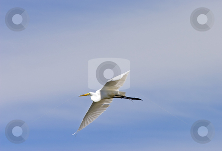 Flight of the Egret stock photo, A cattle agret glides above Potholes Reservoir by Mike Dawson