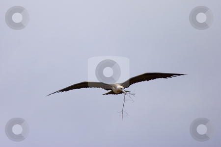 Flying Frigate stock photo, The Great Frigate Bird in flight with nest building material of Molokini crater, Hawaii. by Mike Dawson
