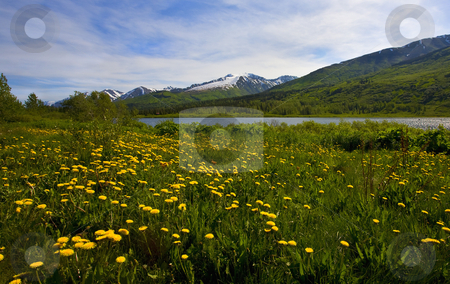 Dandelion Meadow stock photo, A bit of snow on the peaks of the Kenai Mountains with a meadow of dandelions in the foreground. by Mike Dawson