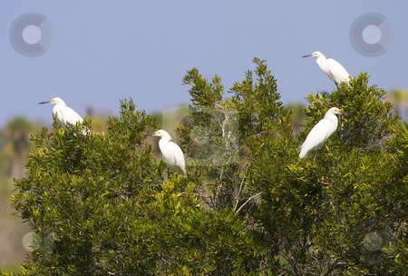 Birds of a Feather stock photo, A flock of cattle egrets in a mangrove tree along a Florida Canal by Mike Dawson