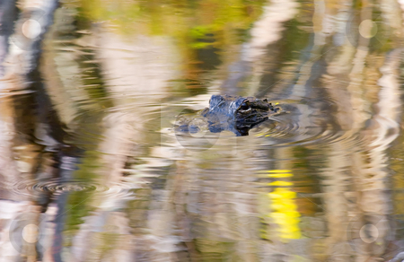 Nary a Ripple stock photo, A Florida Alligator lurks in the reflections of the Magroves along a Florida Evergalds Canal barely raising a ripple. by Mike Dawson