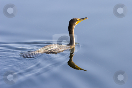 Mirror, Mirror stock photo, A double-breasted Cormorant glides trhought the mirror water of a Florida Canal by Mike Dawson