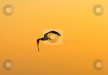Sunset Pelican Flight stock photo, A brown Pelican taking flight over the beach at MArco Island as the sun set over the Gulf of Mexico. by Mike Dawson