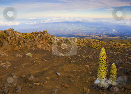 Silversword Sunrise stock photo, A rare Silversword plant on the slopes of Haleakala crater, Maui, Hawaii by Mike Dawson