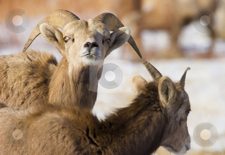 Don't Mess with Me stock photo, A large Bighorn Ram staring down a youngster who obviously was in the wrong spot at the wrong time. by Mike Dawson