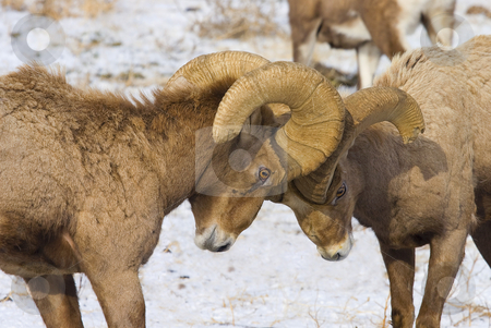 Standoff stock photo, A couple of Bighorn Rams butting heads over a ewe behind. At this point they were at a standoff. by Mike Dawson