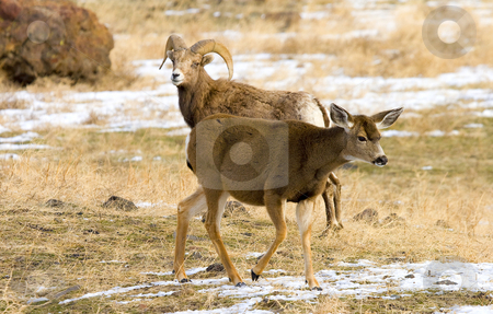 The Odd Couple stock photo, An odd couple of so it would seem. A bighorn Ram looks over a whitetail doe that has joined the herd for the moment. by Mike Dawson