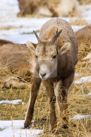 The Kid stock photo, A bighorn kid looks for something to graze on the wintry slopes pf Mt. Clemans. by Mike Dawson