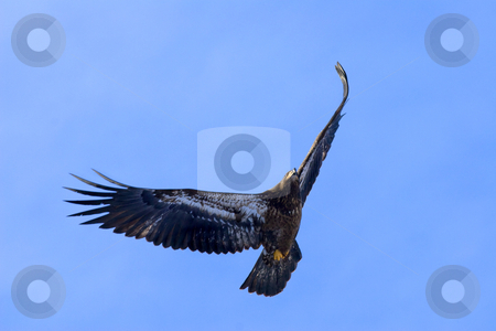 Riding the Wind stock photo, A juvenile Bald Eagle riding the winds on a crisp Janiary Morning. by Mike Dawson