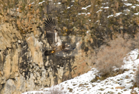 Soar stock photo, A Juvenile Bald Eagle soars in from a basalt cliff in the Tieton River Drainage by Mike Dawson