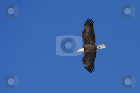 Majestic Flight stock photo, The majestic American Bald Eagle soars above the waters of the Tieton River by Mike Dawson