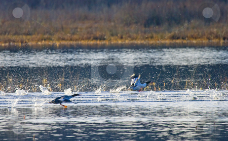 Take Flight stock photo, A pair of mallard ducks taking flight from the calm waters of a loal wetland area by Mike Dawson