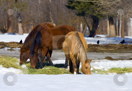 Winter Feeding stock photo, Winter feeding of a trio of horses in the Yakima Valley by Mike Dawson