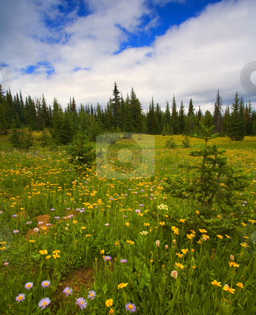 Alpine Meadow stock photo, An alpine meadow littered with wildflowers near Darling Mountain in Washington by Mike Dawson