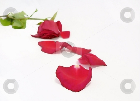 Fading Beauty stock photo, Wilting red rose and petals on white as metaphor for aging by Perry Correll