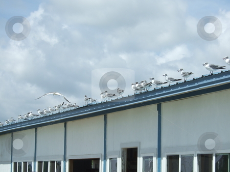 The Birds stock photo, A flock of seagulls sitting on a roof by Kim Williams