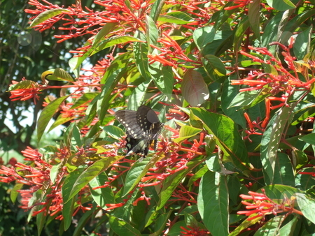 Black butterfly stock photo, Black butterfly on blooms by Kim Williams