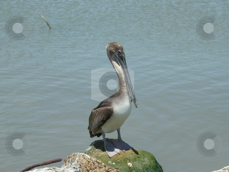 Pelican stock photo, A brown pelican waiting for his close-up by Kim Williams