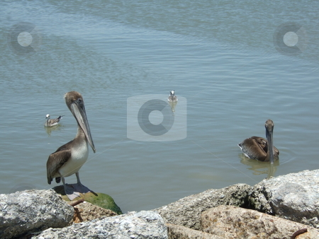 Two pelicans stock photo, Two brown pelicans getting curious about what those people are doing by Kim Williams