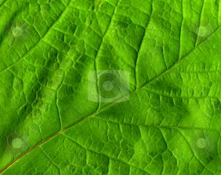 Green leaf macro close up. stock photo, Green leaf macro close up. by Stephen Rees