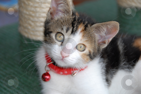 Kitten stock photo, A cute domestic kitten with a red neckband and small red bell, looking at the camera. by Nicolaas Traut