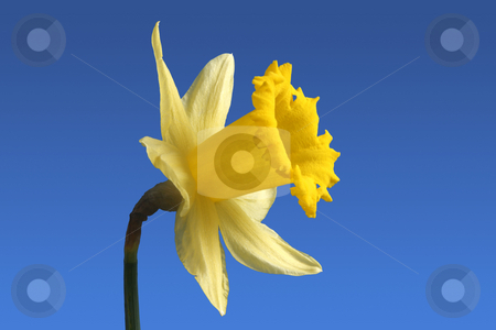 Daffodil stock photo, An English daffodil flower. by Stephen Rees